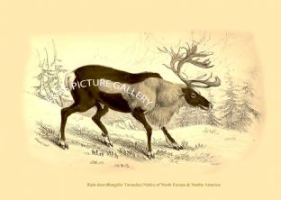 Rein-deer (Rangifer Tarandus) Native of North Europe & Northe America